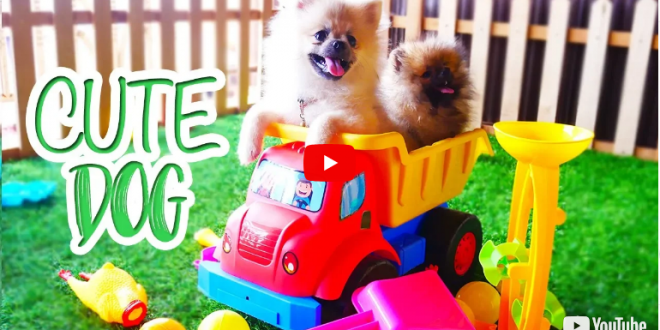 Cute Dogs Playing with Kids and Toys – Cute Pomeranian Puppies