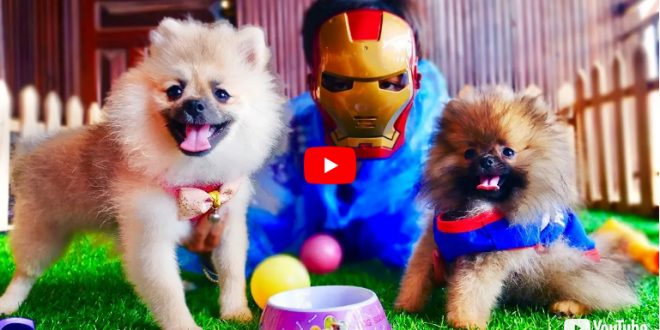 IRON MAN Playing with Pomeranian Puppies – Cutest Dogs Videos Compilation, 4K