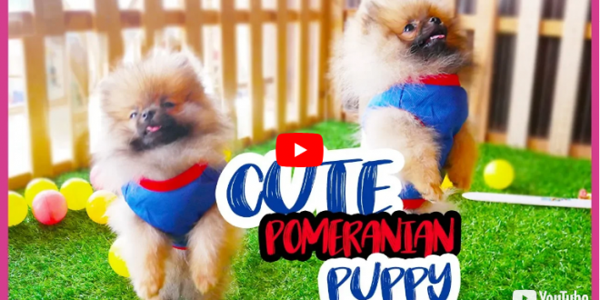 Cute Pomeranian Puppies – Cutest Dog Running and Playing with Kids